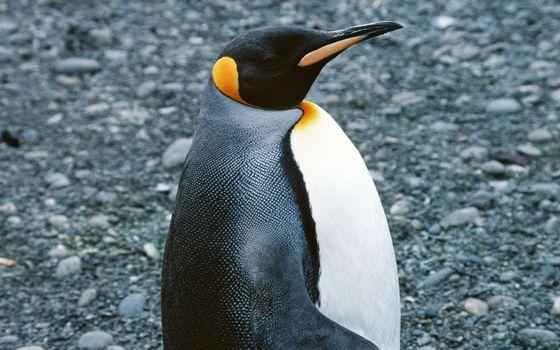 Фото бесплатно пингвин, клюв, перья