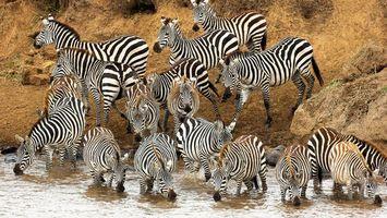 Фото бесплатно зебры, морды, гривы
