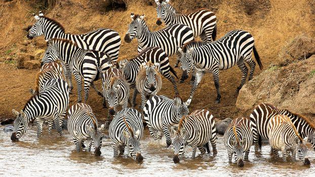 Заставки зебры, морды, гривы