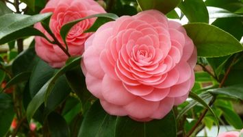 Заставки Camellia Japonica,камелия,лепестки,листья,макро,цветы,флора