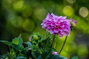 Фото цветок, георгин без регистрации