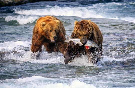 Photo free the river, bears, fish