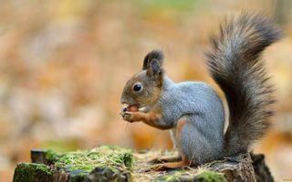 Бесплатные фото белка,морда,уши кисточки,хвост пушистый,лапки,шерсть,орех