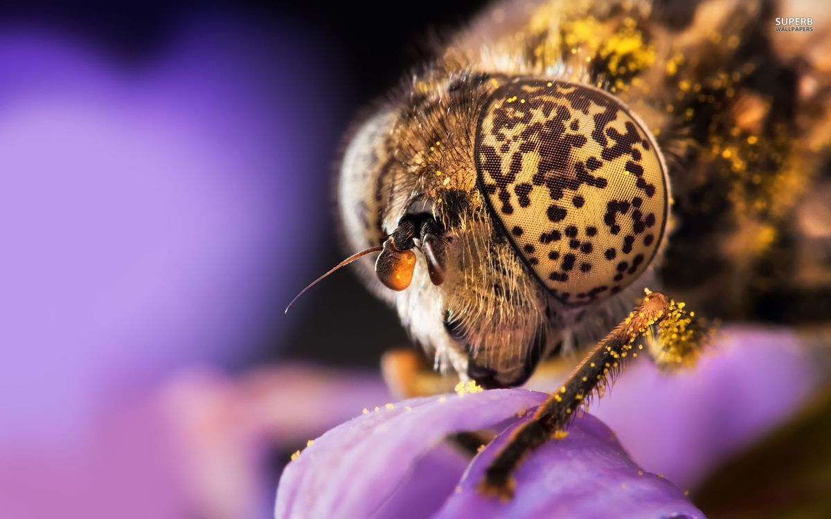 Фото бесплатно муха, голова, глаза, лапы, цветок, пыльца, насекомые