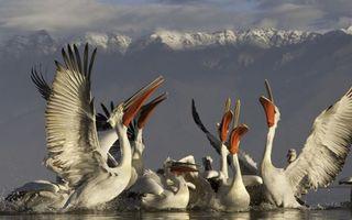 Заставки вода, пеликаны, крылья
