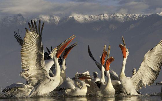 Photo free water, pelicans, wings