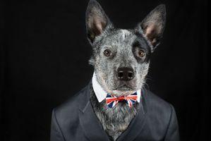 Фото бесплатно Mr Rupert, собака, костюм, взгляд