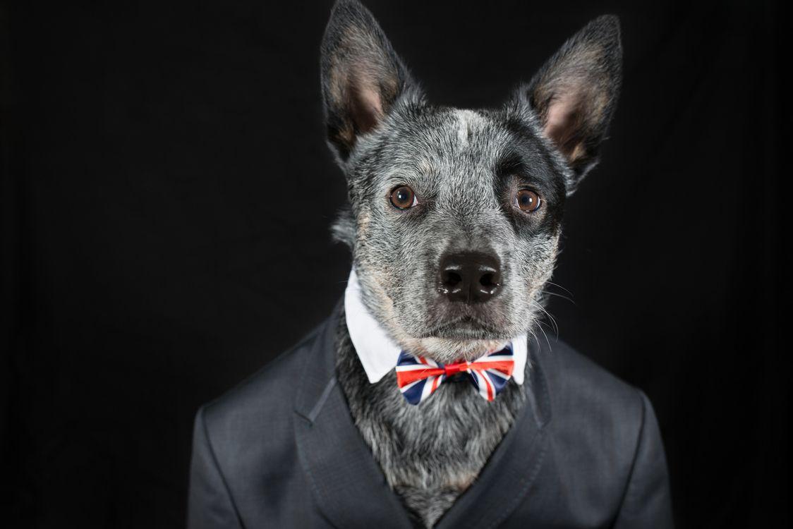 Фото бесплатно Mr Rupert, собака, костюм - на рабочий стол