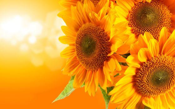 Photo free sunflower, petals, seeds