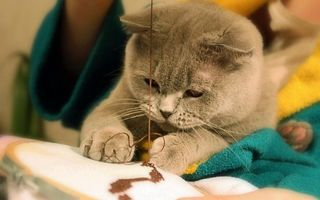 Фото бесплатно кот, британец, вышивает
