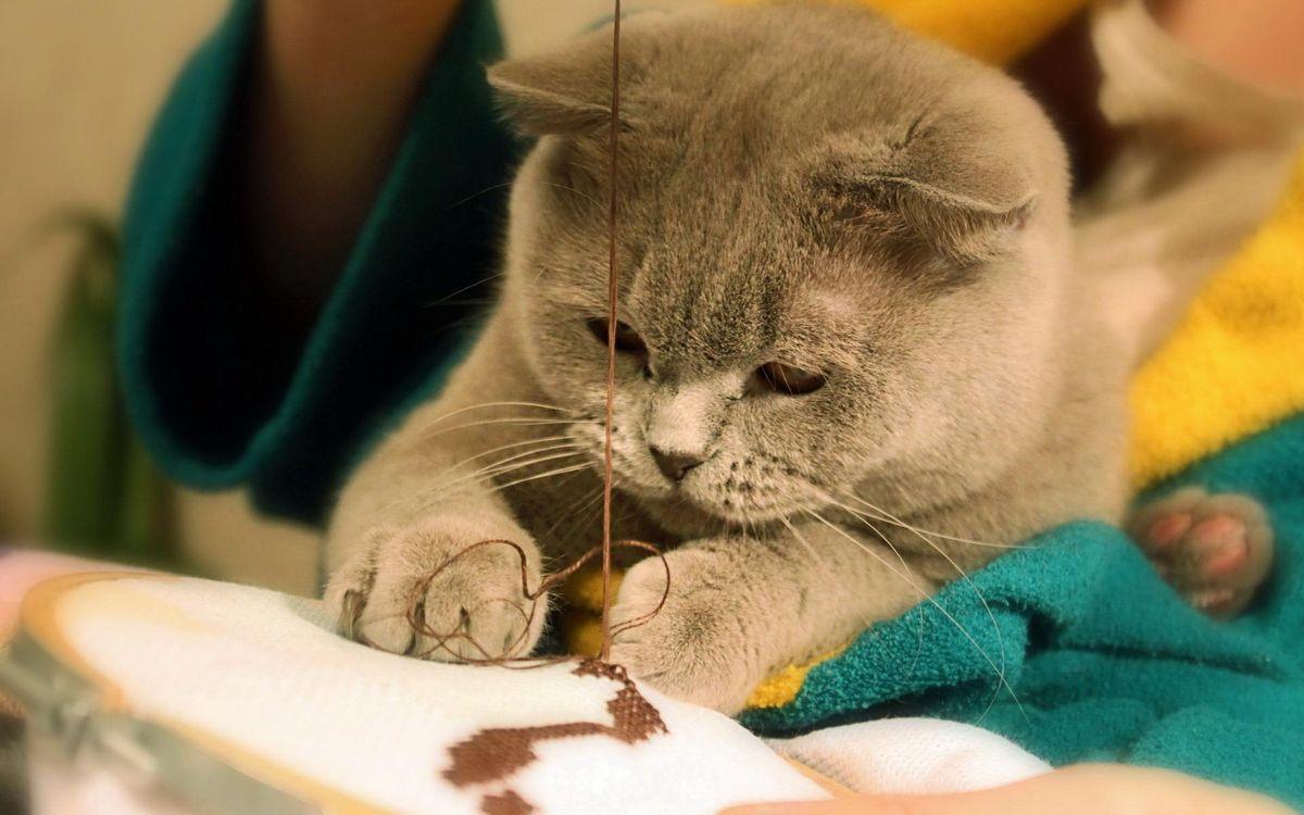 Фото бесплатно кот, британец, вышивает, морда, лапы, нитки, ситуации