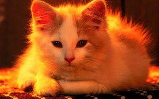 Фото бесплатно котенок, уши, волосы