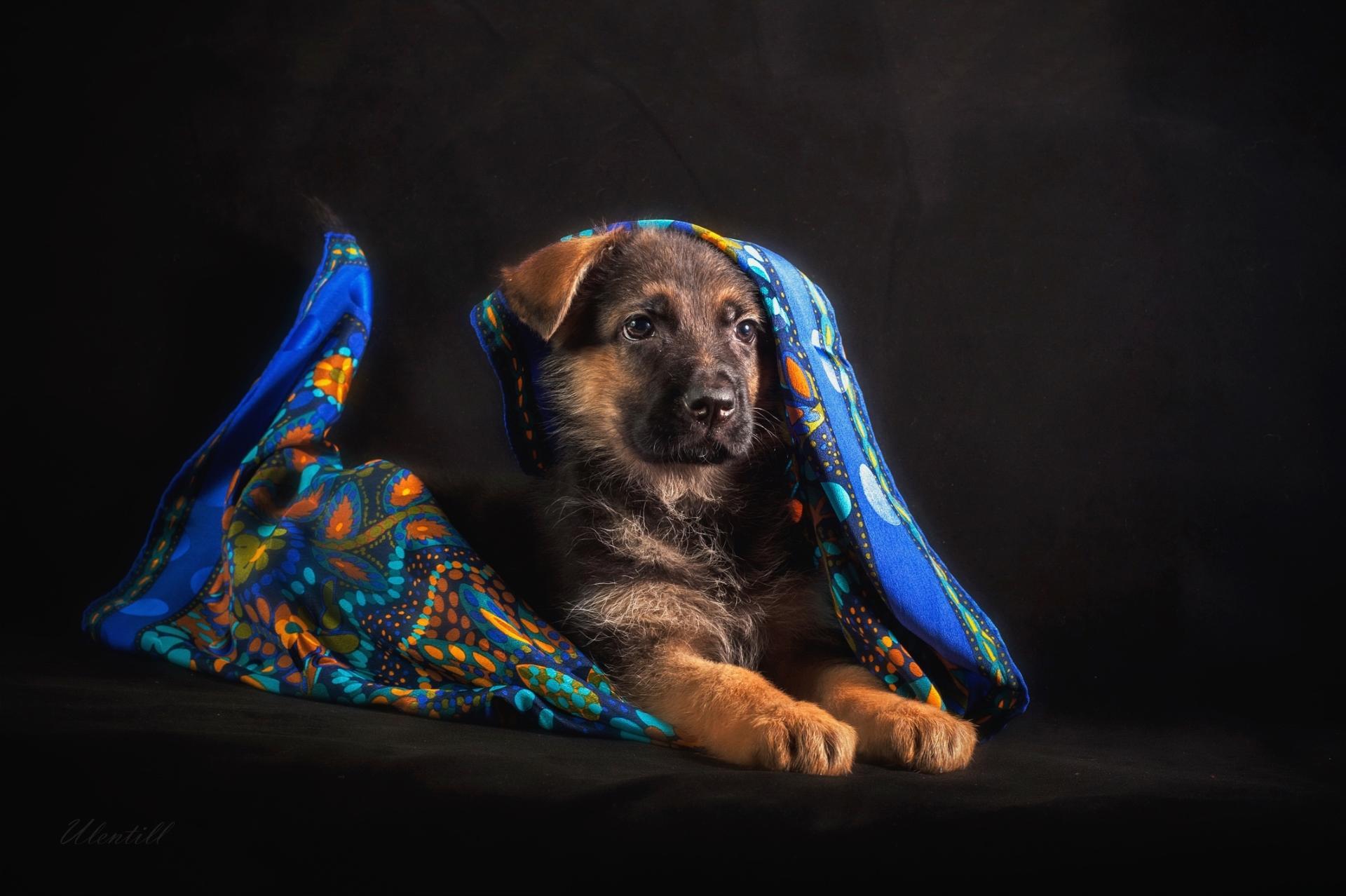 Обои платок, щенок, овчарка, немецкая