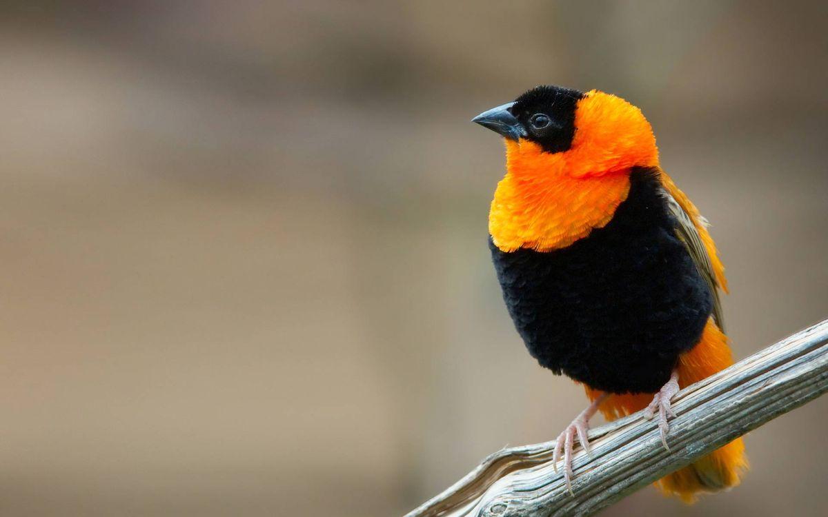 Фото бесплатно птичка, клюв, перья, оранжево-черная, лапки, ветка, птицы