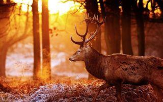Бесплатные фото олень,рога,осень,восход солнца,заморозки,иней,трава