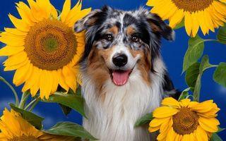 Заставки пес, трехцветный, морда, язык, шерсть, подсолнухи