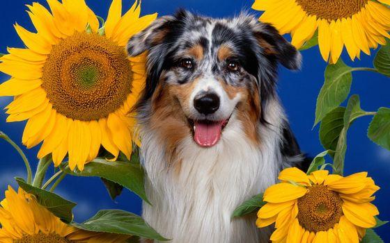 Заставки пес, трехцветный, морда