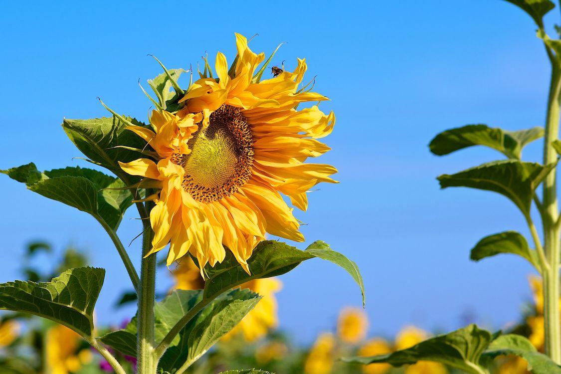 Фото бесплатно поле, подсолнухи, цветы - на рабочий стол