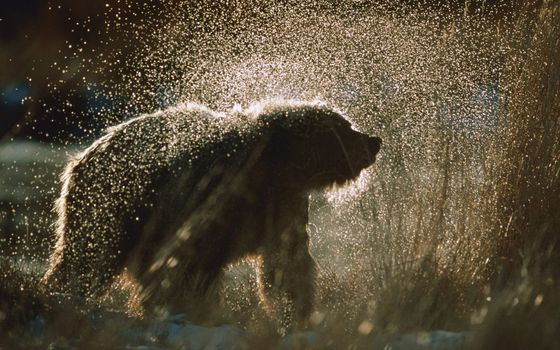 Photo free bear, brown, wet