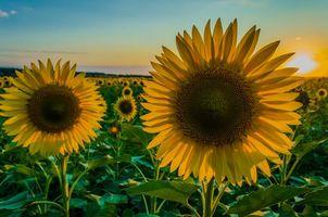 Бесплатные фото поле,подсолнухи,цветы,флора,закат,пейзаж