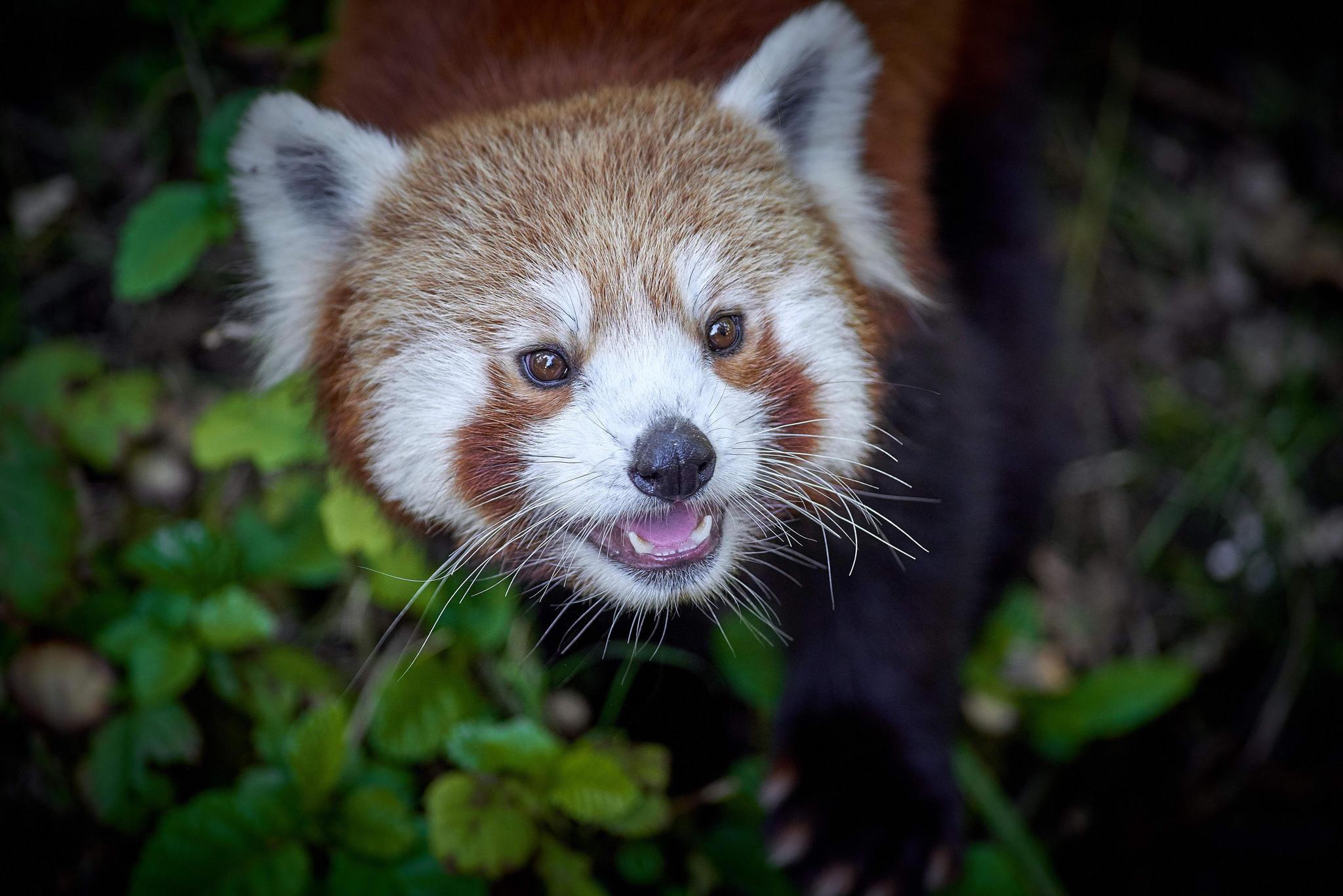 Обои Red panda, panda roux, животное, панда
