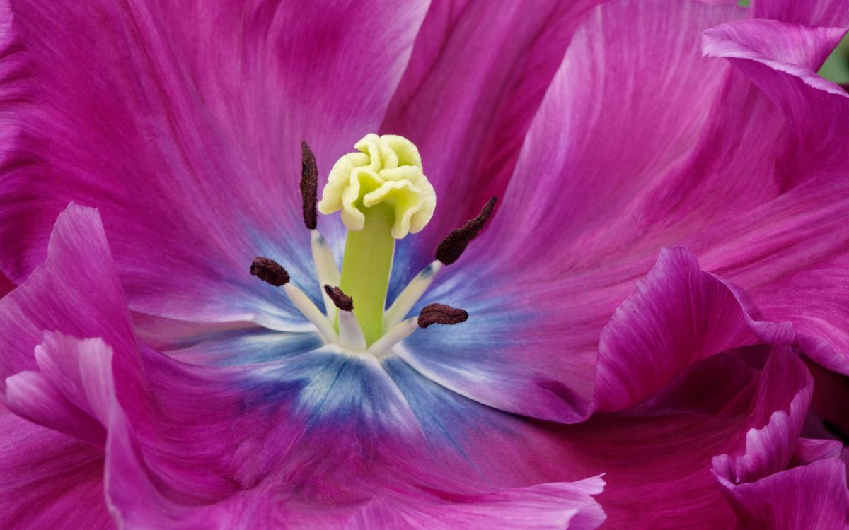 Фото бесплатно цветок, лепестки, розовые, прожилки, пестики, тычинки, макро