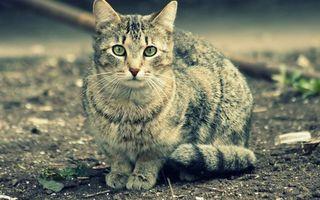 Бесплатные фото кот,серый,глаза,зеленые,морда,шерсть,лапы