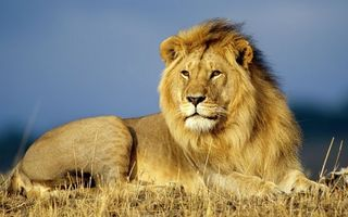 Photo free lion, king of beasts, predator