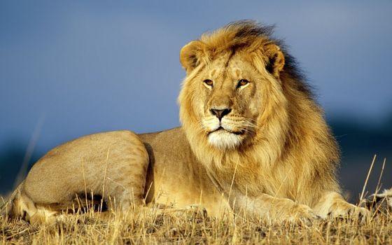 Фото бесплатно лев, царь зверей, хищник