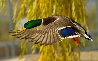 Фото бесплатно утка, полет, крылья