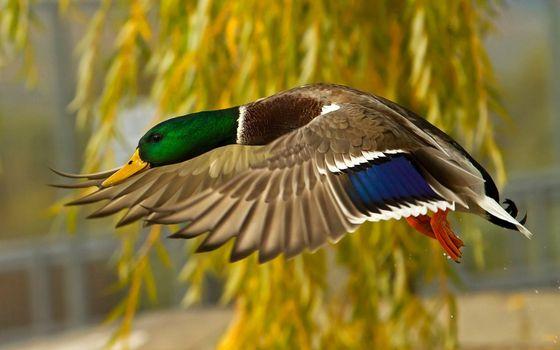 Бесплатные фото утка,полет,крылья