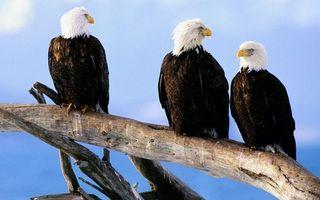 Бесплатные фото орлы белоголовые,клювы,желтые,перья,лапы,коряга
