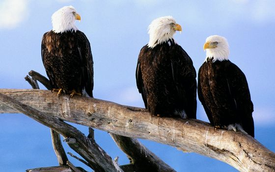 Photo free Eagles whitehead, beaks, yellow