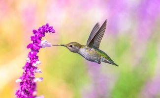 Фото бесплатно колибри, птица, цветок