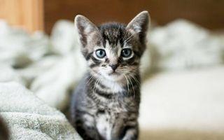 Бесплатные фото котенок,морда,глаза голубые,уши,усы,шерсть,одеяло