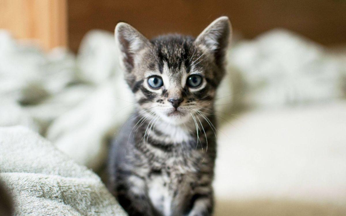 Фото бесплатно котенок, морда, глаза голубые - на рабочий стол