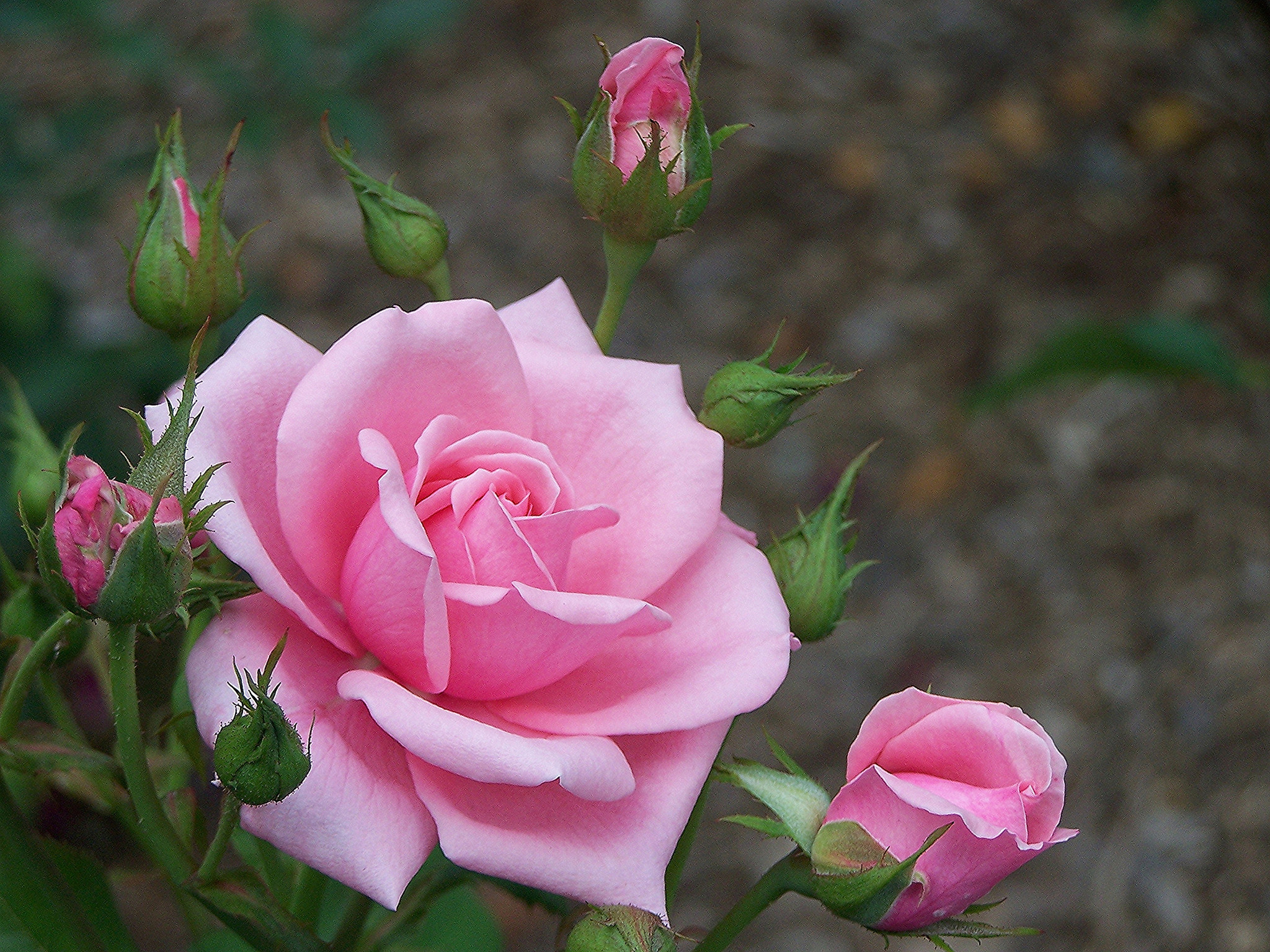 Картинки цветы обои на телефон розы, картинки