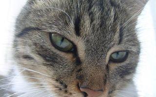 Бесплатные фото кошка,шерсть,серая,морда,глаза,усы