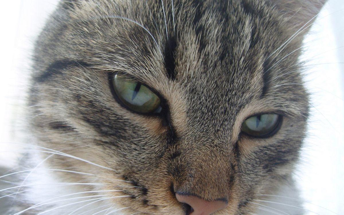 Фото бесплатно кошка, шерсть, серая, морда, глаза, усы, кошки