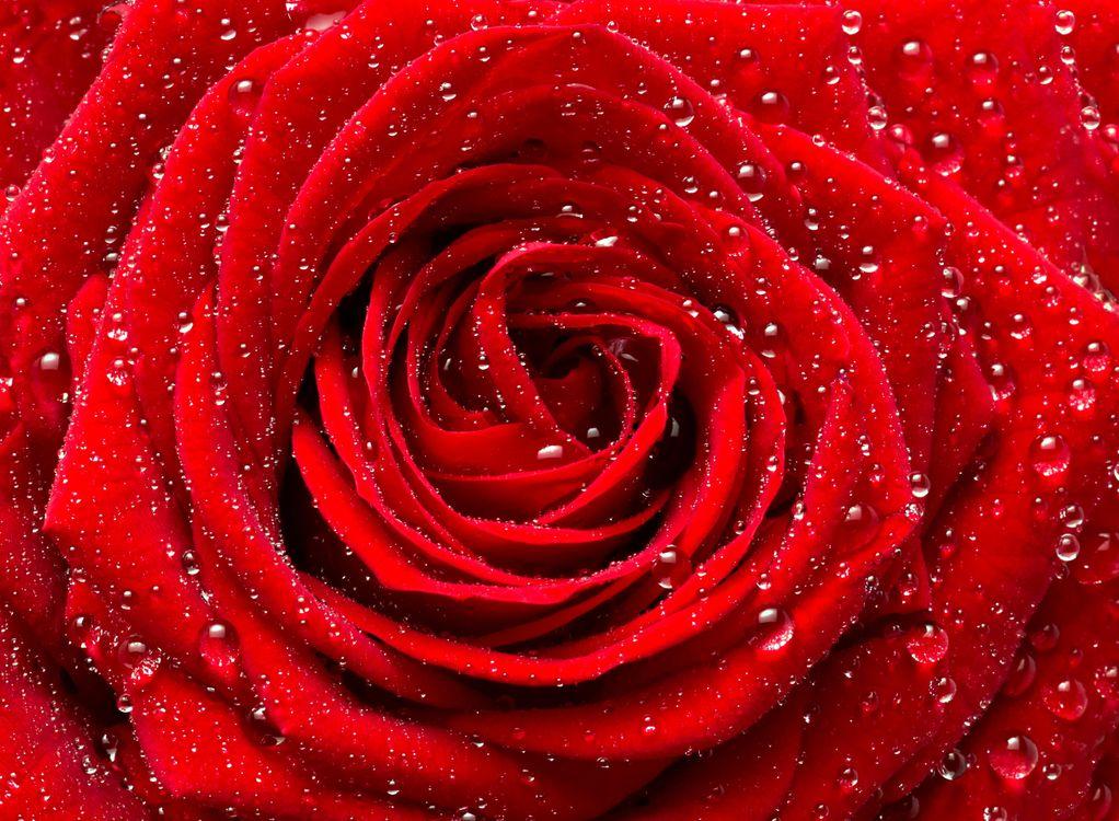 Фото бесплатно розы, роза, цветок, цветы, флора, цветы