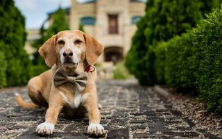 Бесплатные фото пес,морда,уши,лапы,шерсть,бабочка,ошейник