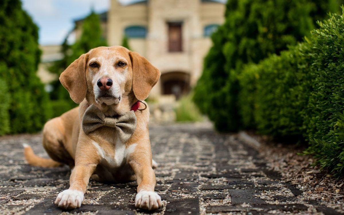 Фото бесплатно пес, морда, уши, лапы, шерсть, бабочка, ошейник, брусчатка, кустарник, собаки