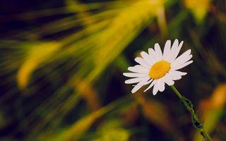 Бесплатные фото ромашка,лепестки,белые,тычинки,желтые,стебель