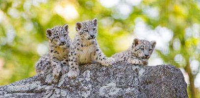 Бесплатные фото Снежный барс,хищник,котята