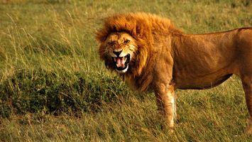 Бесплатные фото лев,царь зверей,морда,оскал,клыки,грива,лапы