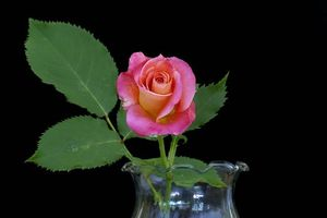 Фото бесплатно розы, чёрный фон, цветок