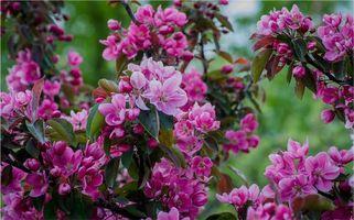 Фото бесплатно Sakura, cherry, cherry blossom