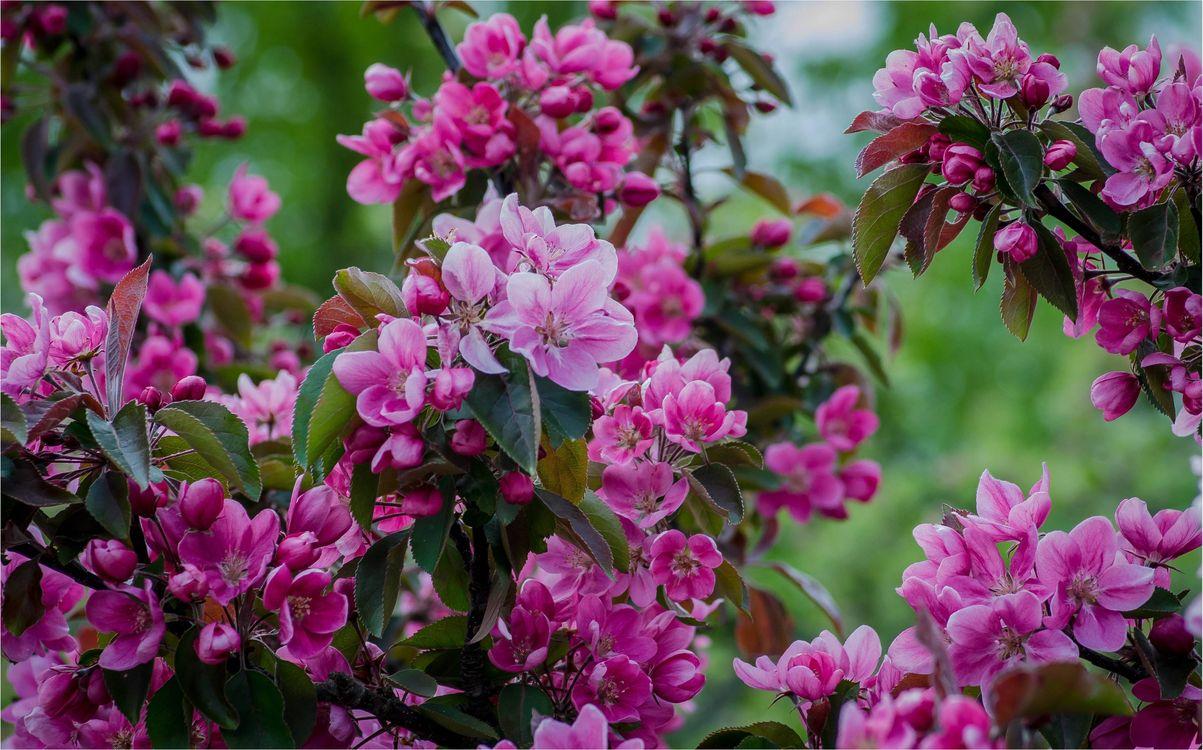 Фото бесплатно Sakura, cherry, cherry blossom - на рабочий стол