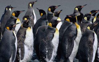 Бесплатные фото пингвины,стая,перья,клювы,крылья,окрас