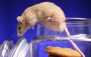 Фото бесплатно банка, печенье, крыса